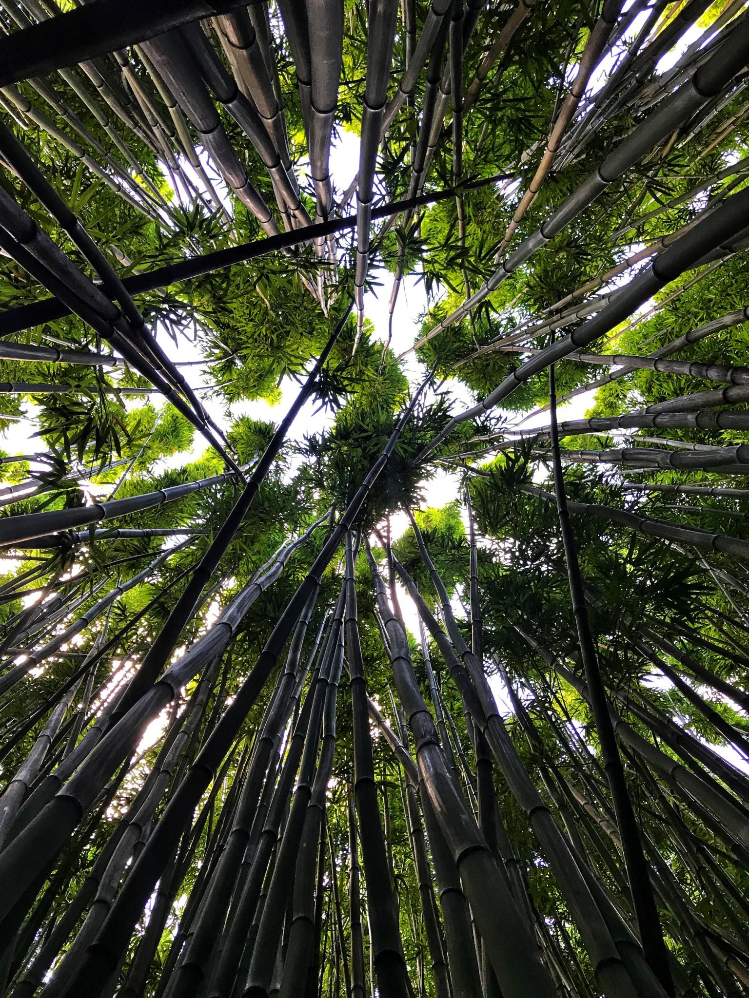 bamboo forest, road to hana, haleakala national park, the-alyst.com